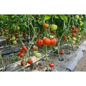 CLIP TOMATE 23 MM